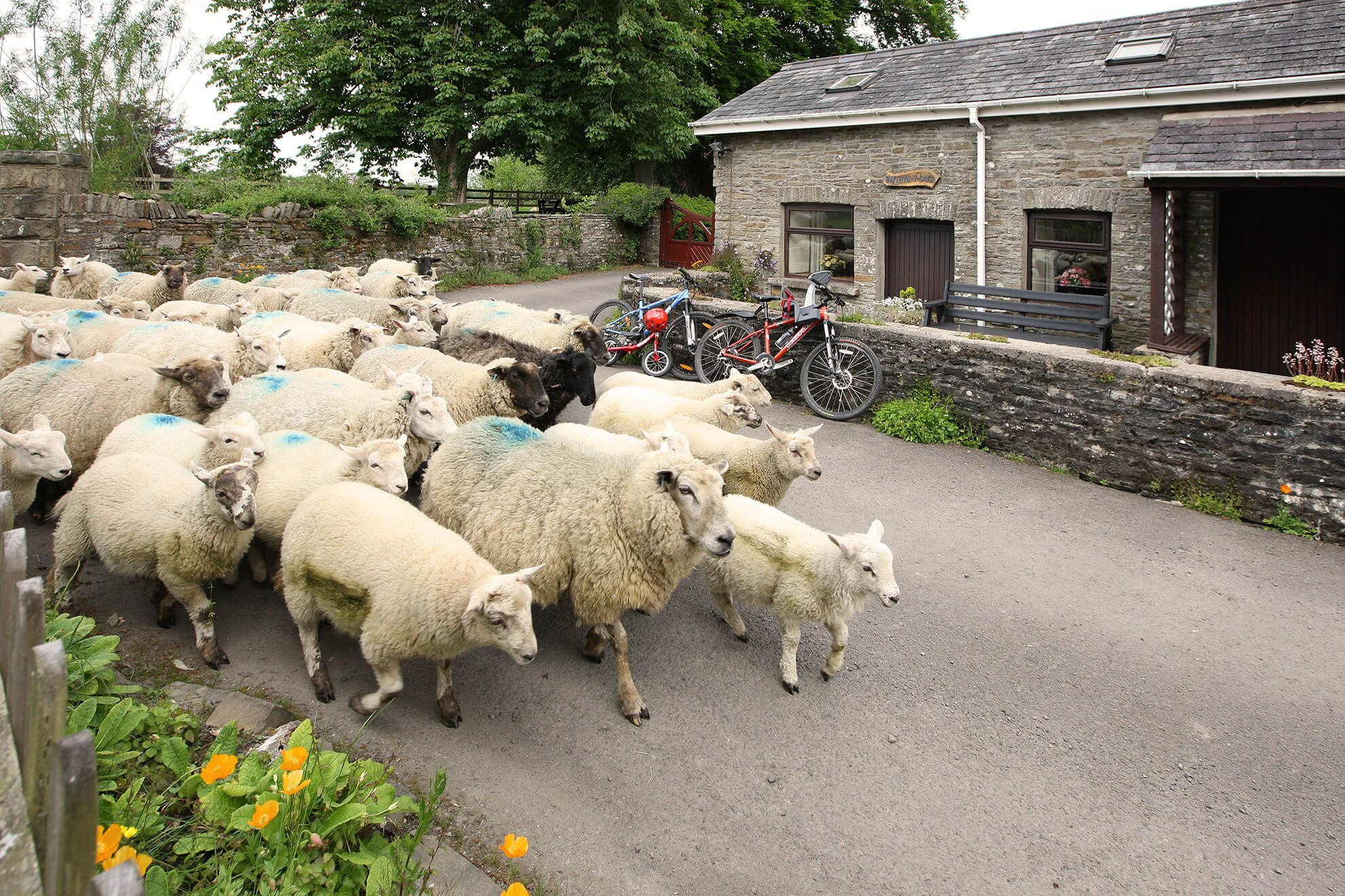A flock of Welsh mountain sheep pass by the cottage sun terrace