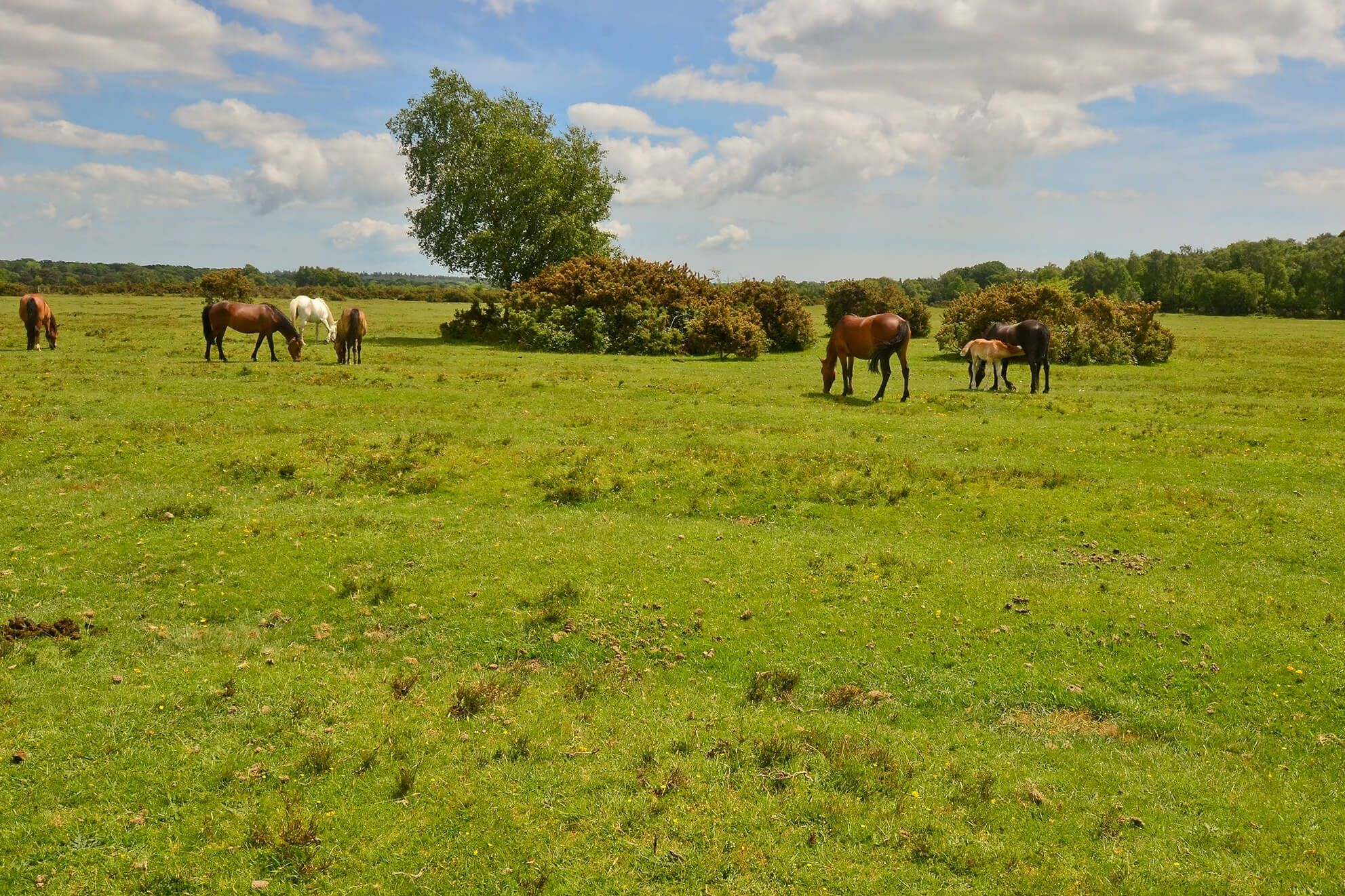 Wild horses in the New Forest National Park