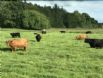 Group of Highland Coos