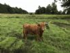 hairy coo posing for a photo