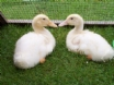 Maes y Gwy holiday cottage nr Chepstow - Ducks on the farm