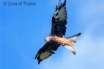 Red Kites swooping above the cottage
