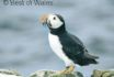 Puffins along the coast